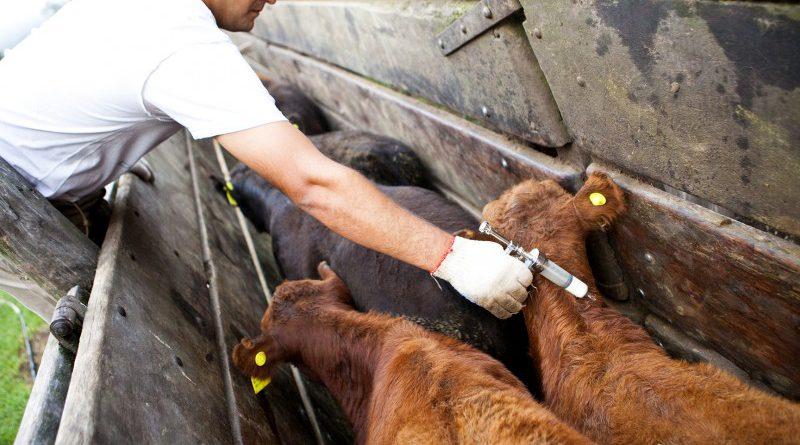 Convocan a los Ganaderos a realizar  la 1° Campaña de Vacunación Antiaftosa / Antibrucélica